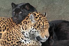 jaguar artis BB2A8742 (j.a.kok) Tags: jaguar jaguarcub jaguarwelp pantheraonca zwartejaguar blackjaguar rica artis animal southamerica zuidamerika mammal zoogdier dier kat cat predator