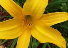The Lost Ant (npbiffar) Tags: flower yellow plant garden outdoor bright macro lilly npbiffar closeup ant