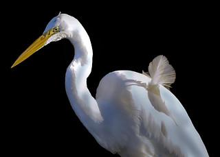 Ruffled Feather on Egret Seabirds of Long Island Sound