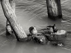 Posed. (Fencejo) Tags: canon600dt3ikissx5 tamronspaf90mmf28dimacro11 blackwhitebwstreetcityblackandwitestreetphotographymonochrome ebro zaragoza ducks nature river