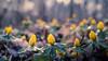 yellow winter aconite (Jeannette Maandag) Tags: 25mmartisanjpg yellow forest spring flower fujixt20 heemtuin dof bokeh nature winter aconite