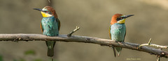 Guêpier d'Europe  (Merops apiaster) (francisaubry) Tags: nikon nikkor 300mm guepier bird aves beeeater bienenfresser nikonflickraward watcher birdwatcher
