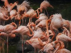 Flamingos (Grafic Oz) Tags: phoenicopterus flamingos zoo aves zoológico