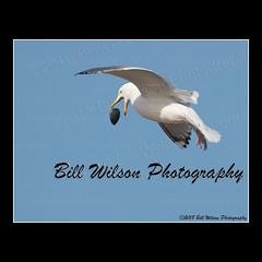 bombs away (wildlifephotonj) Tags: herringgull herringgulls gull gulls gullsflight gullflight wildlifephotographynj naturephotographynj wildlifephotography wildlife nature naturephotography wildlifephotos naturephotos natureprints birds bird beachbirds beachphotos