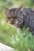 Wildcat portrait (Tambako the Jaguar) Tags: wildcat wild cat feline portrait face grumpy grass tierparkgoldau zoo switzerland nikon d5