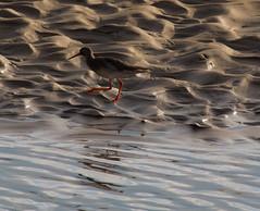 Running Redshank 2 (PDKImages) Tags: redshank wader wadingbird water portmeirion wales bird nature wildlife avian feathers flight wings