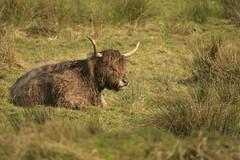LandOwner (Tony Tooth) Tags: nikon d7100 sigma 50500mm cow animal farming highlandcattle beast rudyard staffs staffordshire