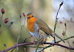 Robin (eric robb niven) Tags: ericrobbniven scotland dunkeld perthshire robin wildlife wildbird nature springwatch