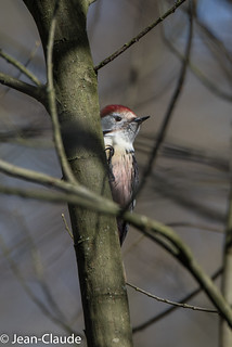 Dendrocoptes medius - Middle Spotted Woodpecker