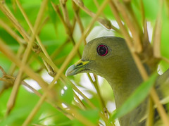Female pink-necked green pigeon in bamboo tree (Robert-Ang) Tags: pigeon pinkneckedgreenpigeon nature wildlife bamboo japanesegarden singapore animalplanet treronvernans