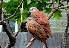 RUDDY GROUND DOVES.....HAPPY FENCE FRIDAY! (Lani Elliott) Tags: nature naturephotography bird birds doves ruddygrounddoves kevin ruddy feathers fence tree brown patterned speckled flecked plumage happyfencefriday fantastic beautiful superb excellent wow gorgeous