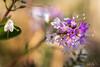 Pastel de lumière...! - Pastel of light ...! (minelflojor) Tags: fleur pistil pétale pollen anthère filet stigmate style macro bokeh flou fondu tige flower petal anther stigma blur fade stalk