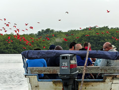 Watching Scarlet Ibis at Caroni Swamp, Trinidad (annkelliott) Tags: trinidad island caribbean westindies caroniswamp boat people tourists ecotourism tour arrivalofscarletibis scarletibis eudocimusruber flock flying inflight comingintoroostfornight nature wildlife ornithology avian bird birds scarlet red water lake tree forest rainforest sky outdoor 19march2017 fz200 fz2004 panasonic lumix annkelliott anneelliott ©anneelliott2017 ©allrightsreserved