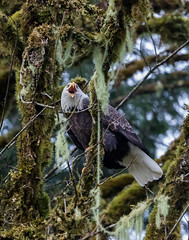 Talkative Eagle (elliott845) Tags: eagle baldeagle haliaeetusleucocephalus baldy adultbaldeagle birdofprey bird birdinflight raptor nature animal wildlife pnw pacificnorthwest washington washingtonstate predator flight