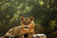 Lioness (traptiantiwary) Tags: lioness wild wildlife animal nature outdoor wildcat rock green animals mammal canon india