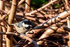 Coal Tit - in the evening sun. (Different Aspects) Tags: 7dwf sundays fauna coaltit bird