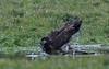 Let the water fly! (nickinthegarden) Tags: americanbaldeagle sumasprairie abbotsfordbccanada