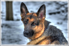 Shadow in HDR (Astral Will) Tags: dog gsd germanshepherd friend companion pet shadow hdr