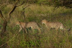 walking in single file (cirdantravels (Fons Buts)) Tags: feline felidae carnivore carnivora cat acinonyxjubatus cheetah gepard guépard jachtluipaard coth5 cirdantravels fonsbuts predator wildafrica africansafari felindae felinae