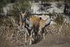 IMG_6866a (Ben Aird) Tags: cape town africa nature wine zebra giraffe springbok bontebok eland grapes duck bokaap seal vineyard vine shiraz remhoogte vergenoed lizard architechture