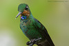 Brillante Frentiverde. Heliodoxa jacula. Juvenil Green-crowned Brilliant. (Mario E. Campos Sandoval) Tags: aves ave pluma plumas costarica hummingbird colibri pico verde green fly flying