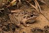 Freycinet's Frog/Rocket Frog (Litoria freycineti) (peter soltys) Tags: peter soltys photography wildlife adventure australia freycinetsfrog rocket frog litoria freycineti amphiphia