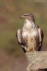 Posa rapace (Simone Mazzoccoli) Tags: nature natura wild wildlife birdwatching bird animal raptor birdofprey hunter outdoor light winter