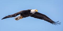 Soar (jeff_a_goldberg) Tags: americanbaldeagle baldeagle wildlife winter nature bird bif haliaeetusleucocephalus birdinflight eagle redwing minnesota unitedstates us