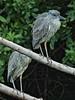 Yellow-crowned Night-Heron immatures 02-20180114 (Kenneth Cole Schneider) Tags: florida miramar westmiramarwca