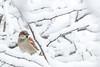 House sparrow (Renate van den Boom) Tags: 12december 2017 europa gelderland huismus jaar maand nederland oosterhout renatevandenboom thuis tuin vogels