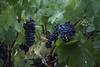 IMG_6515a (Ben Aird) Tags: cape town africa nature wine zebra giraffe springbok bontebok eland grapes duck bokaap seal vineyard vine shiraz remhoogte vergenoed lizard architechture