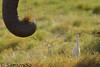 牛背鷺與象拔 Cattle Egret (Bubulcus ibis) and Elephant Trunk, Kenya (Samson So Photography) Tags: kenya cattleegret bibulousibis elephant africa commensalism
