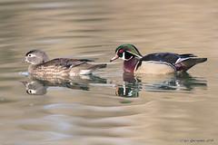 Handsome Couple (pandatub) Tags: bird birds duck woodduck elkgrove