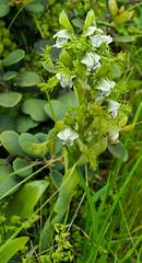 Bipinnula fimbriata (Poepp.), Flor del bigote (macsbruj) Tags: flor losmolles orquídea plantae laligua regióndevalparaíso chile cl orchid