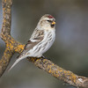 Hoary Redpoll (Turk Images) Tags: aspenparkland carduelishornemanni hoaryredpoll isletlake alberta birds finches fringillidae hore winter