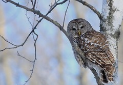 Barred owl (lifer for me today) (Guy Lichter Photography - 3.7M views Thank you) Tags: barredowl owls owl birds bird animals animal wildlife manitoba canada 5d3 canon