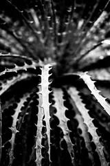 It's Been a While (Thomas Hawk) Tags: america california huntington huntingtonbotanicalgarden losangeles sanmarino southerncalifornia thehuntington usa unitedstates unitedstatesofamerica botanicalgarden bw desertgarden fav10