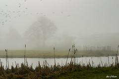 Serpentine River (3SugarCubes) Tags: river water marsh pond fog mist bird birds flock fb tree trees ornithology
