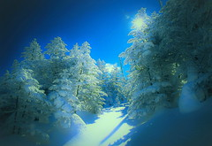 Forest of rime on trees 2 (chikaraamano) Tags: morning rimeontrees snow forest sky abiesveitchii sparkleplateau winter white skyandclear blue light fieldmeadow beautiful coloring longing heavysnow mountain nature outdoor tree verycold exhilarating lovely