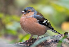 Chaffinch (RobLesliePhotography) Tags: leica100400mm g80