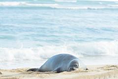 DSC_1631 (Aloha!Yukino) Tags: nature natural sun waves water seals beach hawaii blue ocean sand animal