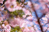 IMGL0684 (GARNETSKY2006) Tags: 180304sakura sakura japan record cherry blossom cherryblossom eos5d 5d3 50mmf12