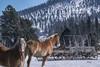 Hitch your wagon to a star.. or a Percheron (composite) (teresayvonne) Tags: animal snow tree wagon horse percheron composite