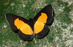 Mesene silaris (hippobosca) Tags: butterfly mesenesilaris peru riodinidae metalmark macro insect lepidoptera