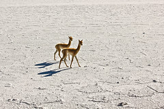 Baby Guanacos on a Salt Field, Argentina (donnatopham) Tags: