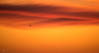 A bird in the flaming sky.