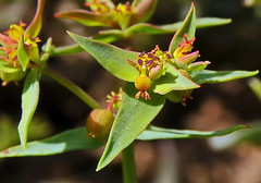 Euphorbia exigua exigua  L. / Euphorbiaceae (chemazgz) Tags: euphorbiaexigua euforbiaceae zaragozanaturaleza zaragoza aragón flora florazaragoza