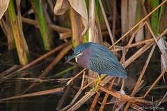 Green Heron-4399 (j.strome) Tags: greenheron