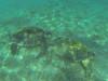 Lunchtime (Peter_069) Tags: tauchen diving scuba malediven maldives äqypten egypt wasser water underwater unterwasser padi fische fisch fish shellfish muscheln moräne moränen moraine batfish fledermausfisch koralle korallen coral nemo clownfisch clownfish boot boat vessel blaueswasser bluewater
