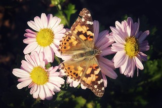 Painted Lady butterfly on Pink daisies